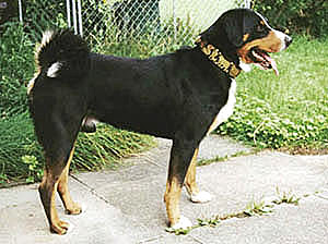Appenzeller Sennenhund Are A Popular Example Of The Text Book Look